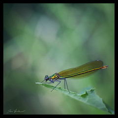 Libellule (Joce.V) Tags: libellule odonate zygoptre demoiselle dragonfly caloptryx nature carr formatcarr bokeh canon 5dmarkii 100macro