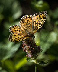 Teton Butterfly (HubbleColor {Zolt}) Tags: hike butterfly grandtetonnationalpark travel insect stringlake wy wyoming alta unitedstates us