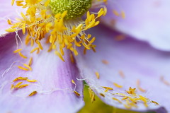 time swiftly passes by ... (rainbowcave) Tags: blume blhen blte bloom flower bltenblatt petal