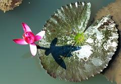 DP1U4115 (c0466art) Tags: 2016 summer season lotus field  wate rlilies cloom colorful flowers scenery landscape canon 1dx c0466art