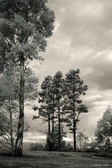 Eucalypts and pines - IR mono (i-lenticularis) Tags: gxrir jupiter1235f28 mountstromlo mtstromlo ricohgxrira12 trees eucalypt pine infrared ir
