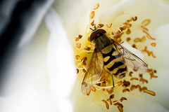 Hover Fly (freyjad1706) Tags: blip insect pick