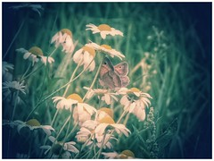 a summer melody (***toile filante***) Tags: butterfly schmetterling insect insekt nature natur flowers blumen meadow wiese summer sommer dof bokeh poetic poetisch