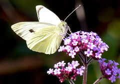 Small White on Verbena (Mary (No Group Invites Please)) Tags: ireland herb verbena pink garden small white butterfly