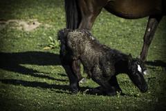 First step pony (Osama Ali Photography) Tags: natura naturaleza nature espaa horse horses pony colt poni caballo marsh new born wildlife wild salvaje green verde baby