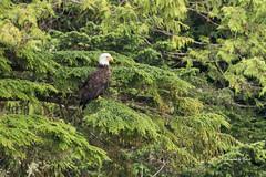 All Seeing (Canon Queen Rocks (1,000,000 + views)) Tags: bird birdofprey baldeagle eagle trees wildlife wings wild nature