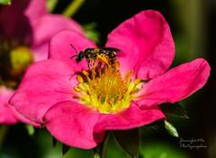 At work (jennifermalledant1) Tags: bee spring nature work travail vie sun nikon macro flower garden jardin soleil