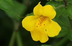 Monkey Flower - Mimulus guttatus 180816 (6) (Richard Collier - Wildlife and Travel Photography) Tags: flora flowersenglishflowers flowers wildflowers british monkeyflower mimulusguttatus yellow