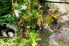 A lazy garden helper... (Finn Frode (DK)) Tags: cats garden shade bushes weeds summer bastian mixedbreed domesticshorthair olympus omdem5 denmark animal pet cat outdoor