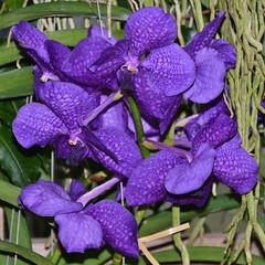 Intense, vivid orchids (stevelamb007) Tags: orchids flowers chicagobotanicgarden garden stevelamb nikon d7200 nikkor18200mm purple intense vivid
