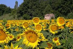Le cabanon des soleils - The shed of the suns (GCau) Tags: gecau france provence tournesols sunflowers luberon vaucluse field champ cabanon shed landscape