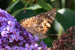 Painted Lady Vanessa cardui (Jelltex) Tags: paintedlady vanessacardui butterfly jelltex jelltecks