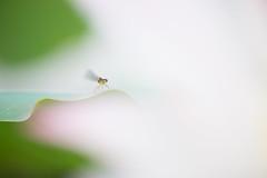 Find me. (lakeside_cat) Tags: damselfly bug lotus dragonfly       nikon d4s nikond4s