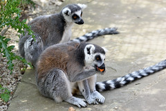 Ring-Tailed Lemurs (Bri_J) Tags: tropicalbutterflyhouse northanston sheffield southyorkshire uk yorkshire nikon d7200 ringtailedlemur lemur lemurcatta