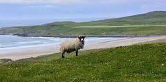 Saligo Bay (Joan's Pics 2012) Tags: sheep islay farmanimals wool 116picturesin2016