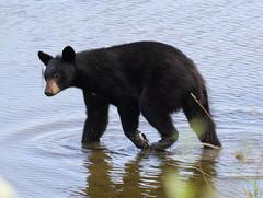 BlBear-Pitt R (Robertmoose) Tags: bear black water river pitt young coquitlam