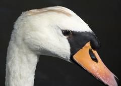 Brugge6 (FilipNikon) Tags: brugge zwaan swan