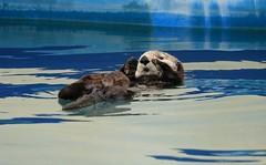 Sea Otter Resting Seward Marina Seward Alaska USA North America (eriagn) Tags: rreflections boatreflections paint pontoons sea salt wateralaskawildlifefurrycutefloatingrestingdozingngaire hartngaire lawsoneriagnwildlifemarinemammalweaselwater abstract pattern