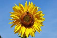 Sun (Hugo von Schreck) Tags: sunflower sonnenblume blte macro makro hugovonschreck outdoor canoneos5dsr tamronsp90mmf28divcusdmacro11f017 blume flower fantasticnature onlythebestofnature
