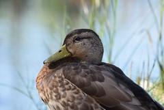 Mallard (careth@2012) Tags: mallard nature duck wildlife portrait beak feathers
