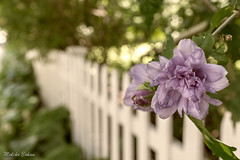 Pittsford village fence (melike erkan) Tags: pittsford pittsfordny village fence flower bloom bokeh bokehwhores bokehlicious bokehmadness dof sony sonya6000 carlzeiss 24mm zeiss white green light fencedfriday
