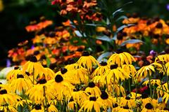 Rudbeckia and Helenium (pnjavery) Tags: rudbeckia blackeyedsusan goldsturm helenium garden summer yellow red herbaceous perenial
