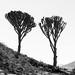 Euphorbia silhouette