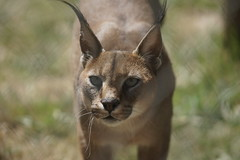 075_Great Cats Park_Caracal (steveAK) Tags: greatcatsworldpark caracal