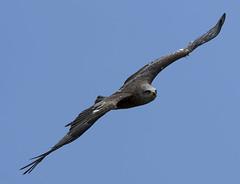 Airborne Predator (ORIONSM) Tags: black kite bird prey raptor flying inflight nature pentaxk3 sigma150500 wildlife