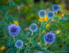 Bee Magnet (James Neeley) Tags: london hydepark flowers globethistle jamesneeley