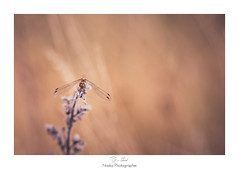 Chagrin d'amour (Naska Photographie) Tags: naska photographie photo photographe paysage proxy proxyphoto macro macrophotographie macrophoto libellule dragonfly dragonflie odanate insectes extrieur volant nature sauvage bokeh color couleur chaud eos canon 6d 150mm sigma