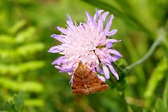 sodrmoly / tortrix moth (debreczeniemoke) Tags: nyr summer rt meadow rovar insect insecta lepke moly moth sodrmoly tortrixmoth leafrollermoth sodrmolyflk sodrlepkeflk tortricidae sodrmolyszerek tortricoidea olympusem5