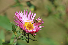Syrphe / Flower Fly (alain.maire) Tags: diptera diptre syrphe flowerfly hoverfly nature quebec canada
