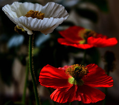 White and Red Iceland Poppies (Alona Azaria) Tags: iceland poppy papaver flower bokeh nature fleur fleurs fiore fiori flores pavot mohn klaproos valmue flowers depth field outdoor white red passionphotography