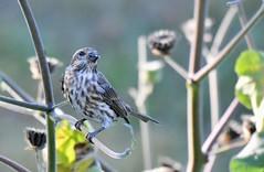 MD5_8222 (mcphoto17) Tags: bird wildlife finch