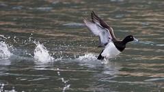 Reiherente (Aythya fuligula) (martinjutzi) Tags: reiherente aythyafuligula ente wasservgel water birds wildlife bif