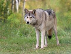Gray Wolf (Nick Saunders) Tags: wolf dog canine alberta rockies canada