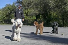 2688 (Jean Arf) Tags: ellison park dogpark rochester ny newyork september autumn fall 2016 poodle dog standardpoodle paul gladys doris jane