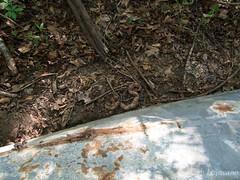 Copperhead (Agkistrodon contortrix) (JLoyacano) Tags: apalachicola apalachicolanationalforest jacobloyacano pitviper venom venomous viper agkistrodon agkistrodoncontotrix anf copperhead