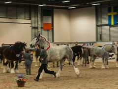 Shire Horse Spring Show Images 2012-24 (andrew_brooks86) Tags: grey cantor run handler shirehorse galope showring eastofengland peterboroughshowground shirehorsespringshow2012peterboroughukmarch2012 shirehorsespirngshow