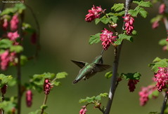 Male Calliope Hummingbird (Stellula calliope) (Photography Through Tania's Eyes) Tags: canada flower male bird nature leaves animal fauna photography photo bill pom wings flora nikon photographer hummingbird bc image britishcolumbia okanagan wildlife branches feathers photograph summerland birdwatcher okanaganvalley calliopehummingbird stellulacalliope summerlandornamentalgardens copyrightimage nikond7000 malecalliopehummingbird taniasimpson amazingwildlifephotography allofnatureswildlifelevel1