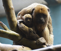 Our Baby Black Howler Monkey...How Cute Is He? (Dan Dan The Binary Man) Tags: park new baby black male washingtondc smithsonian dc washington districtofcolumbia district columbia national nz newborn dcist nationalzoo inside primate fonz howler zoological dczoo blackhowlermonkey alouattacaraya enclousure smithsoniannationalzoologicalpark snzp friendsofthenationalzoo natzoo monkeyprimates smithsoniansnationalzoologicalpark