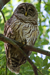 4-7-12 Barred Owl Mom (janeswalden) Tags: bird gardens nap sleep owl mead barred