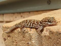 Gekkonidae>Heteronotia binoei Binoe's prickly gecko DSCF86581 (Bill & Mark Bell) Tags: exmouth westernaustralia australia geo:town=exmouth geo:state=westernaustralia geo:country=australia geo:lon=11425453egeolat2217752sgeoalt8m 11425453e2217752salt8m taxonomy:kingdom=animalia animalia taxonomy:phylum=chordata chordata taxonomy:class=reptilia reptilia taxonomy:order=squamata squamata taxonomy:suborder=sauria sauria taxonomy:family=gekkonidae gekkonidae taxonomy:genus=heteronotia heteronotia taxonomybinomialnameheteronotiabinoe heteronotiabinoei taxonomycommonnamebinoespricklygecko binoei animal fauna lizard