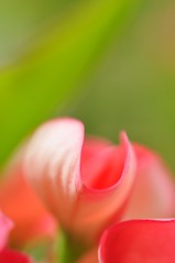 Enchanted......... (Anna Kwa) Tags: abstract macro art garden singapore crownofthorns thegalaxy mimamorflowers