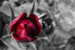 Tulips (Bearcats Photography) Tags: flowers tulips nikoncamera nikkor18200mm13556 d7000 elementsorganizer photoshopedstuff colorandbwbackground