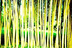 Villa Carlotta (cranjam) Tags: park italy parco film 2004 forest lomo lca xpro lomography italia bamboo fujifilm tungsten villacarlotta expired lakecomo lagodicomo foresta tremezzo bambù rtpii tungsteno 64ttypeii