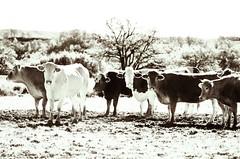 We are all Individuals (Tinina67) Tags: roses france animal cow farm hidden tina favourite challenge enchanted odc gers tinina67 aumarron