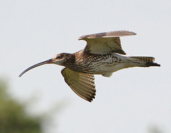 Curlew In Flight (Ger Bosma) Tags: bird dutch flying wings europe european wildlife flight thenetherlands 123 birdsinflight soaring bif curlew 160 birdinflight wylp wulp eurasiancurlew numeniusarquata flyingbird thegalaxy maaricoreal zarapitoreal storregnspove kulikwielki storspov courliscendr groserbrachvogel chiurlomaggiore mygearandme mygearandmepremium  mygearandmebronze mygearandmesilver mygearandmegold mygearandmeplatinum ringexcellence dblringexcellence flickrstruereflection1 flickrstruereflection2 flickrstruereflection3 img48230filtered1