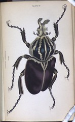 Goliathus magnus (Library & Archives @ Royal Ontario Museum) Tags: africa beetle engraving jamesduncan entomology rarebooks goliathbeetle royalontariomuseumlibraryarchives goliathusmagnus